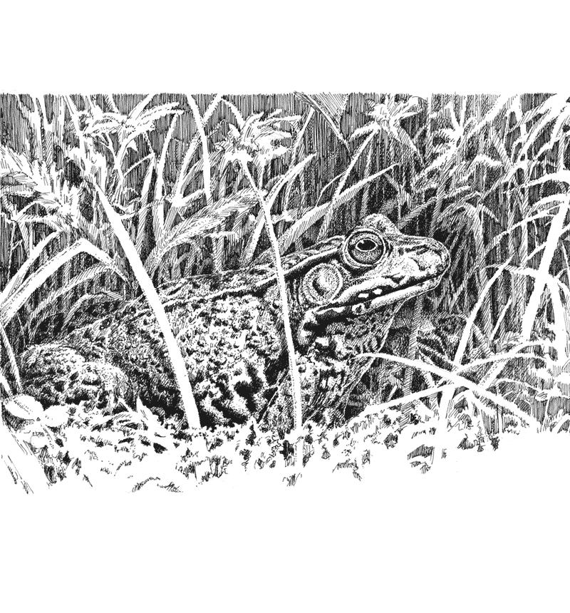 Freelance Illustration - Pen & Ink Drawing - Alberts Illustration & Design